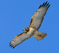 red_tailed_hawk_2