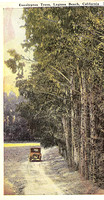 0457 Eucalyptus Trees - Tom Pulley Postcard Collection-M