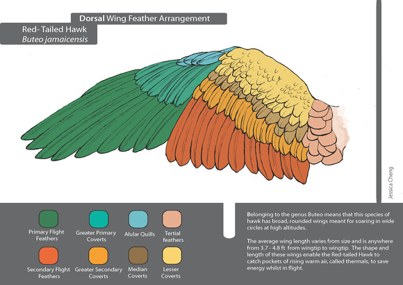 Roark Gourley Larry R Red Tailed Hawk Wing Diagram